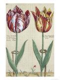 "Tulipa Octaviani Del Pont, and Tulipa Elegant, from ""Hortus Floridus"", Published 1614-15 Giclee Print by Crispin I De Passe"