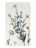"Camomile, Reproduction of a Plate from ""Flore Medicale"" by Francois-Pierre Chaumeton Giclee Print by Pierre Jean Francois Turpin"