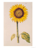 Sunflower or Helianthus, from &quot;La Guirlande de Julie&quot;, circa 1642 Giclee Print by Nicolas Robert