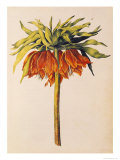 Crown Imperial Lily or Fritillary, from &quot;La Guirlande de Julie&quot;, circa 1642 Giclee Print by Nicolas Robert