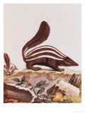 "Skunk, from ""Histoire Naturelle"" by Georges Louis Leclerc Buffon 1749-1804 Giclee Print"
