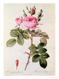 "Rosa Bifera Officinalis, from ""Les Roses"" by Claude Antoine Thory Giclee Print by Pierre-Joseph Redouté"
