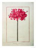Amaryllis Sarniensis, or Narcissus Giclee Print by Nicolas Robert