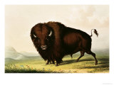 A Bison, circa 1832 Giclee Print by George Catlin