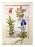 Top Row: Orchid and Fumitory or Bleeding Heart. Bottom Row: Hedera and Iris Giclee Print by Robinet Testard