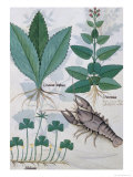 "Illustration from the ""Book of Simple Medicines"" by Mattheaus Platearius circa 1470 Giclee Print by Robinet Testard"