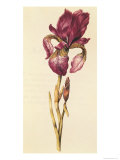 Iris, from &quot;La Guirlande de Julie&quot;, circa 1642 Giclee Print by Nicolas Robert