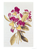 Pansy, from &quot;La Guirlande de Julie&quot;, circa 1642 Giclee Print by Nicolas Robert