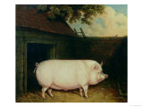 A Pig in Its Sty Giclee Print by E.m. Fox