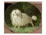 Portrait of a Poodle Giclee Print by Jean Jacques Bachelier