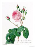Rosa Centifolia Bullata Giclee Print by Pierre-Joseph Redout&#233;