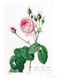 Rosa Centifolia Bullata Giclee Print by Pierre-Joseph Redouté