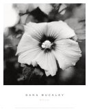 Hibiscus Poster by Dana Buckley