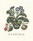 Gloxinia Prints by Victoria Morland