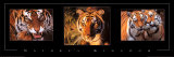 Nature&#39;s Kingdom, Tigers Prints