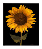 Sunflower I Poster by Tan Chun