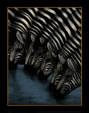 Zebra's Watering Hole Poster by Dexter Griffin