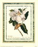 Magnolia Maximus Prints