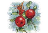 Four Apples on a Branch Prints by Peggy Thatch Sibley