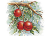 Three Apples on a Branch Prints by Peggy Thatch Sibley