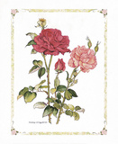 Red Roses Poster by Cicely Mary Barker