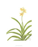 Orchid Study II Premium Giclee Print by Pamela Shirley
