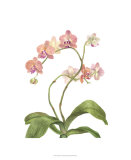 Orchid Study IV Premium Giclee Print by Pamela Shirley