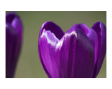 Purple crocus flower abstract Photographic Print by Abby Rex