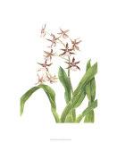 Orchid Study III Premium Giclee Print by Pamela Shirley