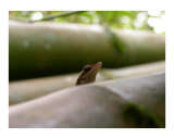 Bamboo Lizard Photographic Print by Onj 