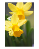Yellow narcissus daffodil flowers Photographic Print by Abby Rex