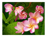 Plumeria Photographic Print by Ben and Raisa Gertsberg
