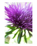 Abstract purple aster flower Photographic Print by Abby Rex