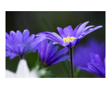 Beautiful blue daisy flower Photographic Print by Abby Rex