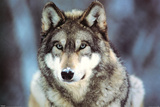 WWF - Grauer Wolf Foto