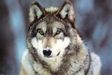 WWF - Lobo gris Fotografía