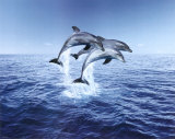 Dolphin Trio Plakater