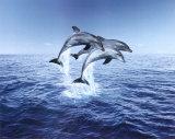 Dolphin Trio Print