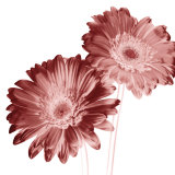 Red Daisies Prints by Dick &amp; Diane Stefanich