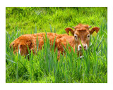 The Irish Cow Photographic Print by Vivian Allsopp