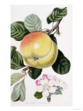 "A Hand Coloured Engraving of an Apple, from ""Pomologia Britannica"" Giclee Print by John Lindley"