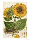 A Sunflower Giclee Print by  John Miller (Johann Sebastien Mueller)