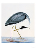 "A Heron, from ""The Birds of Great Britain and Their Eggs"" Giclee Print by William Lewin"