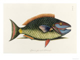 The Parrot Fish Reproduction procédé giclée par Mark Catesby