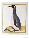 A Penguin, Falkland Islands Giclee Print by Georges Louis Marie Leclerk Buffon