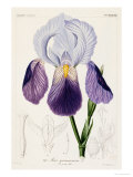 Bearded Iris, Iris Germanica Giclee Print by H.g.l. Reichenbach