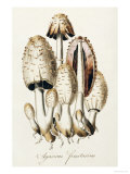 Agaricus Fimetarius (Egg Mushroom) Prints by William Curtis