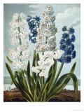 Hyacynths Giclee Print by Robert John Thornton