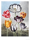 Tulips Giclee Print by Robert John Thornton