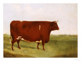 """Twin Beast,"" a Shorthorn / Devon Cross Bull in a Meadow, a Village Beyond Giclee Print by G. Sinclair"